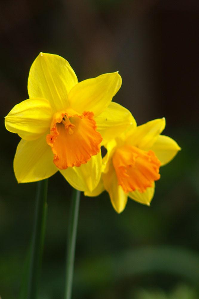 Day 81 - Narcissi (81/365)
