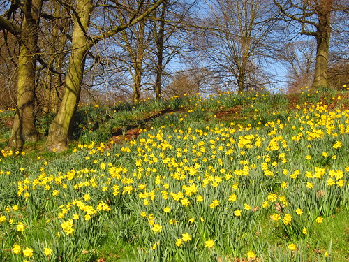Daffodils at Kenwood House