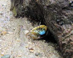 Uca sp. (Fiddler Crab, Winkerkrabbe), Scuba Diving (Tauchen) in Romblon, Philippines (The Three P H.& Dive Resort (Ducks Diving) Romblon) Tags: philippines crab scuba uca fiddler philippinen cangrejos romblon brachyura winkerkrabbe violinistas ocypodidae wenkkrabben crabesviolonistes