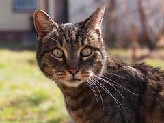Domisia (arjuna_zbycho) Tags: pet cats pets cute animal animals cat austria sterreich kitten feline chat kitty kittens gato gatto katzen haustier niedersterreich tier gattini rakousko hauskatze domisia