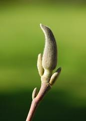Spring greens (Fletty Flicks) Tags: england plant nature garden march spring stem magnolia bud wiltshire explored