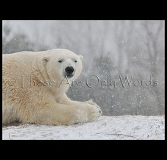 Polar Bear (these are only words) Tags: bear snowflake winter snow ontario canada cold ice fur mammal prayer pray explore polarbear hunter polar adaptation carnivore torontozoo ursusmaritimus explored specanimal vulnerablespecies theseareonlywords maritimebear worldslargestlandcarnivore relatedtothebrownbear adaptedforcoldtemperatures