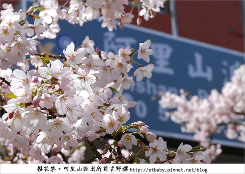 Yoshino Cherry Tree in front of  Alishan Police Station