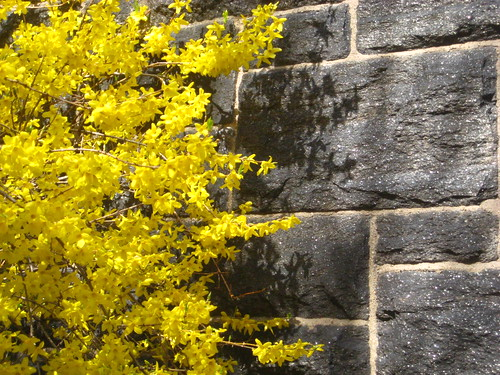 forsythia and wall