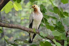 Pied Imperial pigeon  Ducula bicolor (Lim SK) Tags: