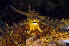octo2Sept16-16 (divindk) Tags: anacapa anacapaisland californiaunderwater camouflage channelislands channelislandsnationalpark octopus octopusbimaculoides sanmiguelisland santabarbara santacruzisland santarosaisland underwater ventura bimacoctopus diverdoug eye marine ocean octo reef sea tentacles twospotoctopus underwaterphotography