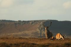 Monarch Of The Peaks (Derbyshire Harrier) Tags: stag 2016 hinds calf autumn easternmoors peakdistrict peakpark gritstone derbyshire september rspb wildreddeer nationaltrust moorland male reddeer