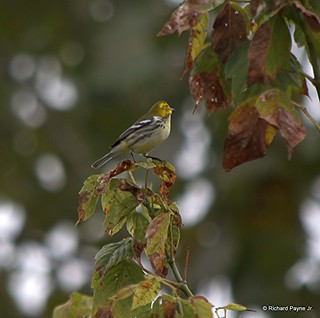 Black-throated Green Warbler_N8459_5651.NEF