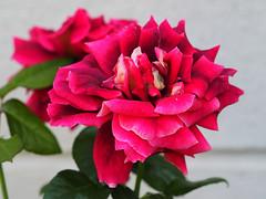 Ra Rose Rosas Roses (arjuna_zbycho) Tags: ra rose rosas roses re rosu rosae flower kwiat blume makrofoto macrophoto