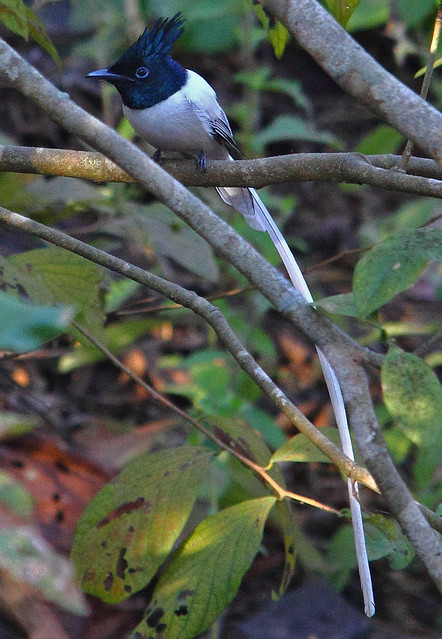 2011_01_23_012093 Paradise Flycatcher Male  White  Crop