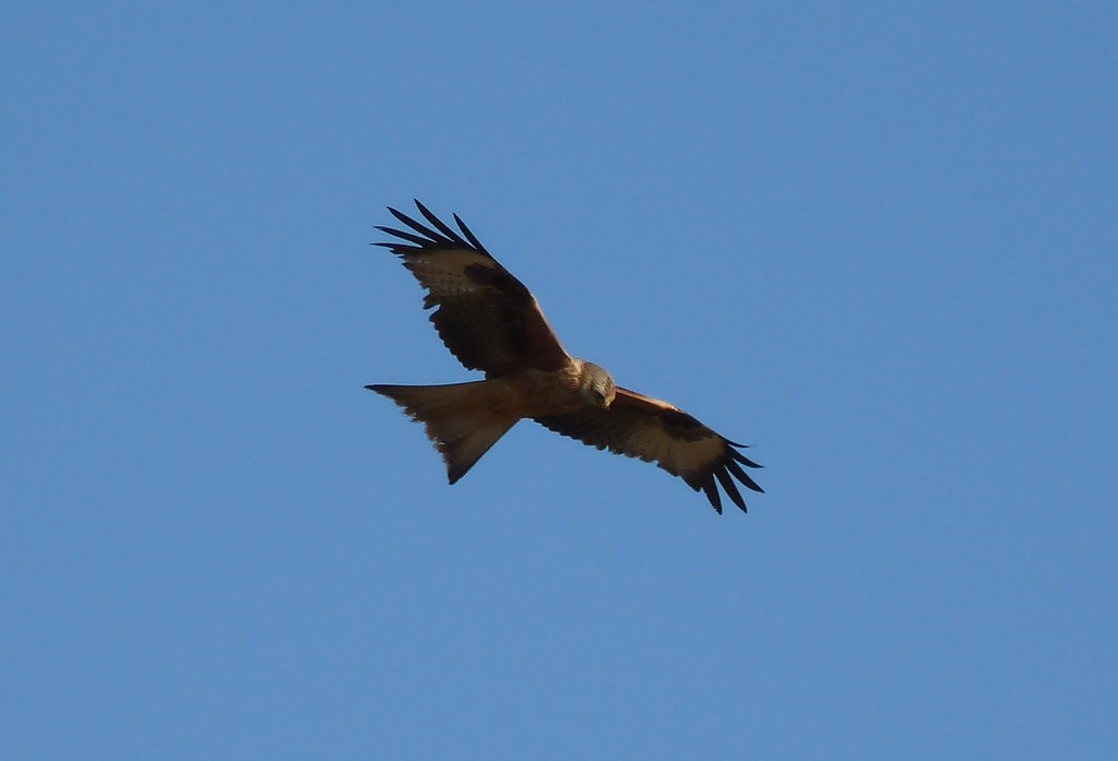 23901 - Red Kite, Rhossili, Gower