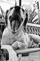 Sbadiglio (Andrea Lobina) Tags: dog animal tongue cane mouth yawn lingua animale bocca sbadiglio sanji andrealobina
