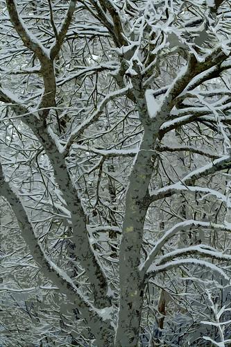 träd, grenar, vinter