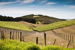 (Hoffmann) Tags: newzealand vines wine auckland vineyards nz grapes waiheke 2010 waihekeisland aucklandnz d300s nikond300s waihekeislandnz