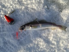 Saltwater Ice Fishing in Norway's Fjords #7