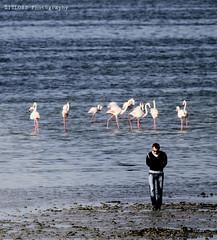 Can`t See Them.. (ZiZLoSs) Tags: canon eos flamingo 7d kuwait usm aziz abdulaziz  f56l ef400mmf56lusm zizloss  ef400mm 3aziz canoneos7d almanie abdulazizalmanie httpzizlosscom