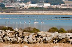Flamencos en los estranques (ibzsierra) Tags: parque canon flamingo salinas ibiza ave estanque eivissa flamenco baleares acuaticas natrural 400d