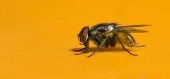 Fly (slalit) Tags: orange india macro fly insects bugs maharashtra february closeups pune karde lalit 2011 raynoxdcr250 lalitshahane