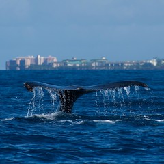 _DSC3655 (ChanHawkins) Tags: square moving shoreline maui whale humpback greatphotographers nikonflickraward flickraward nikonflickrawardgold flickrunitedaward nikonflickrawardplatinum