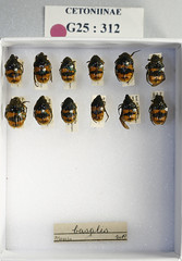 Euphoria Collection 022 (NHM Beetles and Bugs) Tags: insect beetle coleoptera cetoniinae