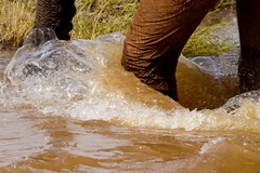 elephant foot splash (Christine Lamberth) Tags: africa camera travel abstract nature water rain canon photographer wildlife location christine botswana wading mudpool mashatu lamberth elephantidaeelephant c4images