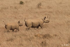 Happy Valantines day to all the Mothers out there.... (Mozambique - Moments) Tags: kenya nairobi rhino calf blackrhino goldwildlife