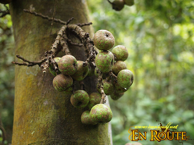 Tibig Tree fruits, when these trees grow, there's good water under