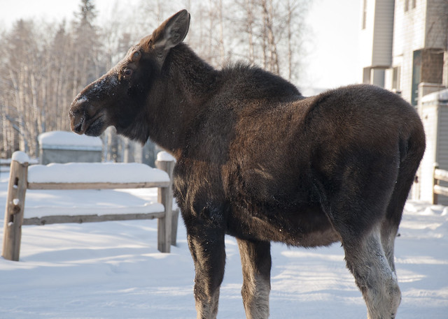 Close Moose