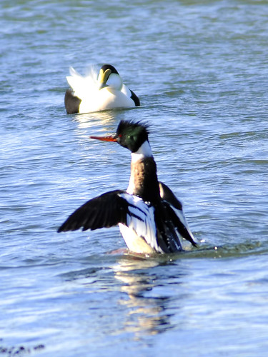 rb merganser aggression