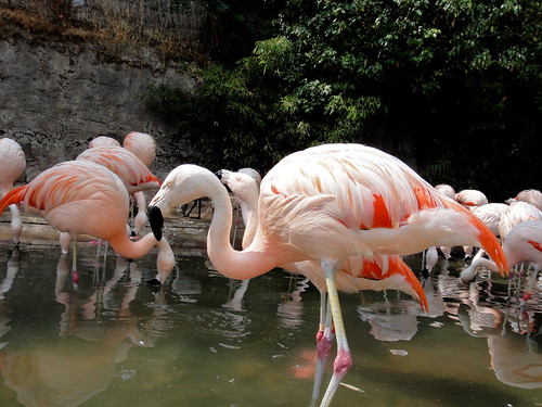 Flamingo in Santiago Zoo