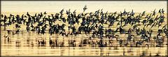 Le grand rush du vendredi soir. (glemoigne) Tags: sea reflection bird reflections soleil brittany bretagne breizh explore reflet shore armor brest britanny birdwatching reflets oiseau seabird settingsun finistère bretaña finistere bécasseau estuaire ornithologie logonna penarbed estran armorique bretanya bretañafrancesa logonnadaoulas reflectionslovers glemoigne gilbertlemoigne