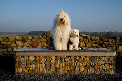 Happy Weekend !  * explore * (dewollewei) Tags: old english sheepdog bobtail oes oldenglishsheepdog sheepdogs oldenglishsheepdogs queserasera sweetexpressions rubyphotographer
