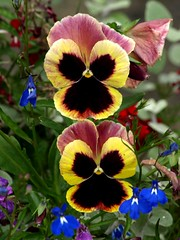 Pansy Duo (saxonfenken) Tags: flowers two garden pansy colourful thumbsup 266 yourock1stplace herowinner pregamewinner gamesweepwinner 266flowers