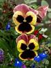 Pansy Duo (saxonfenken) Tags: flowers two garden pansy colourful thumbsup 266 yourock1stplace herowinner pregamewinner gamesweepwinner 266flowers