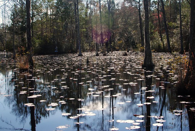 lilypads at cypress gardens