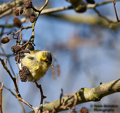 Sijsje-Siskin (Bram Reinders) Tags: holland bird nature yellow nederland thenetherlands natuur birch groningen tamron geel els vogel berk 70200mm siskin carduelisspinus zangvogel uitwierde sijs farmsum sonyalpha700 bramreinders wwwbramreindersnl tamronaf702002 nieuwsgierigheidisdebronvanallekennis curiosityisthesourceofallknowledge bramreindersfarmsum 8dildif