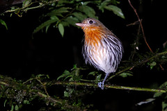 Roosting bird (ggallice) Tags: bird station america ecuador amazon rainforest south research estacion roosting scientific yasuni cientifica