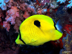 Yellow teardrop butterflyfish - Maldives