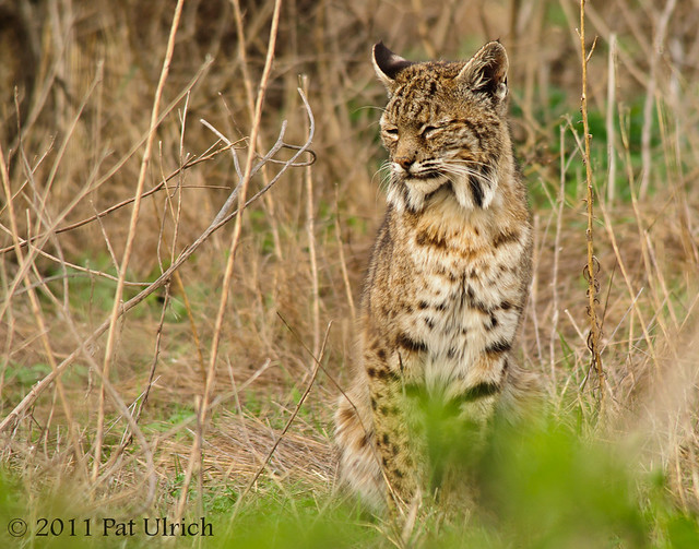 Bobcat at rest - Pat Ulrich Wildlife Photography