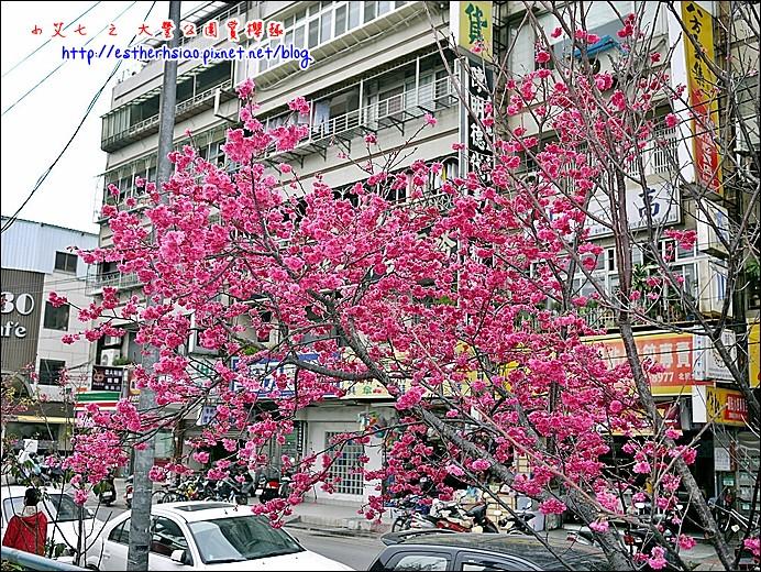 67 大豐公園旁櫻花-0