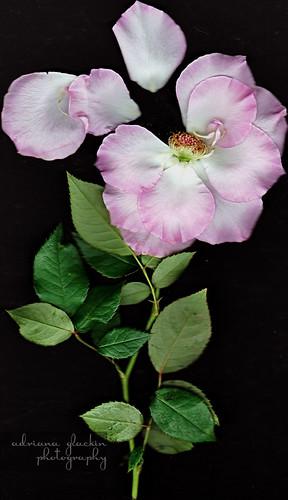 Scanograph Rose III