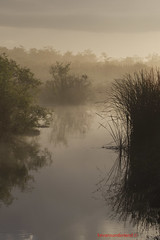 Everglades National Park Fog Over The Swamp (kevansunderland) Tags: fog canon landscape swamp evergladesnationalpark naturephotography royalpalm floridalandscapes coth anhingatrail abigfave absolutelystunningscapes