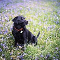 Paddy (princejaffa) Tags: black film bluebells labrador paddy kodak may bronica epson 2010 160 v700 ektacolor sqai