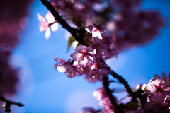 Sakura-46.jpg (Thomo13) Tags: japan canon cherry blossom 桜 日本 sakura kawazu さくら 河津町 5dmarkii gettyimagesjapanq4