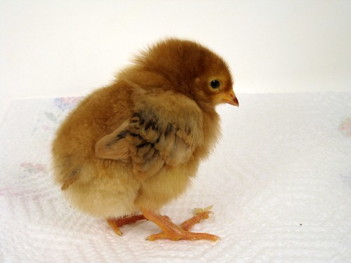 Rhoda or Matilda as a chick