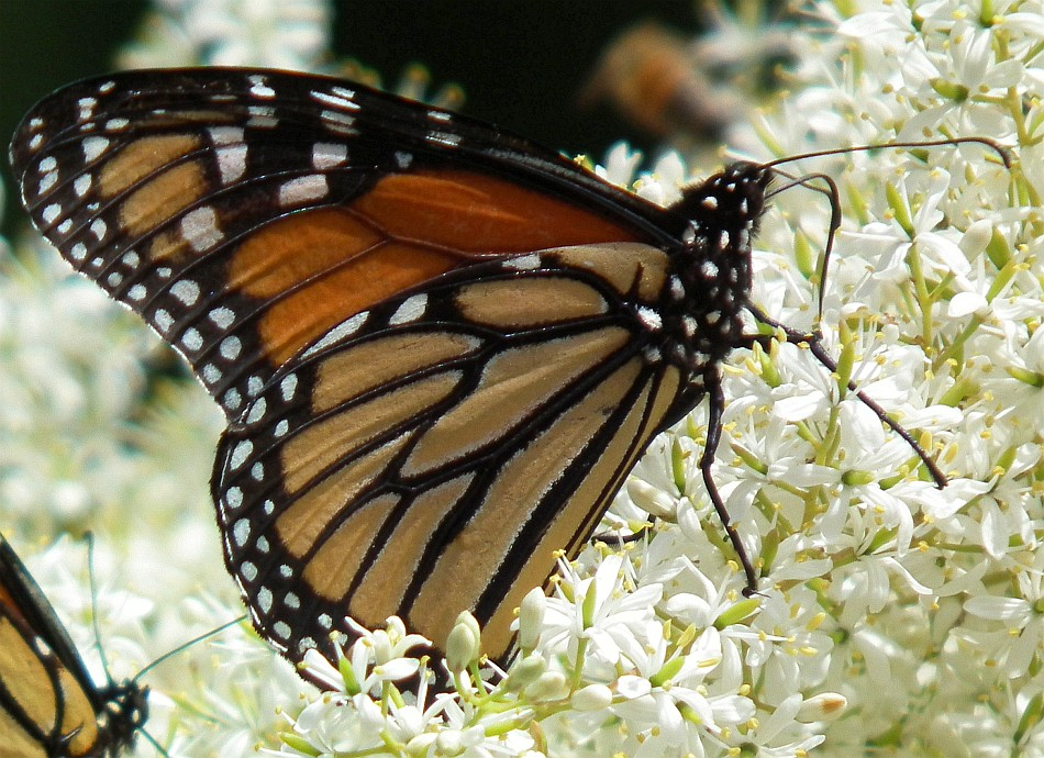 monarch butterfly 07