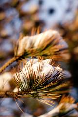 147/365: Pining for Spring (CGA[AvoidingResourcefulGooglers]) Tags: winter light snow tree pine evening bokeh needles snowfall