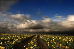 March of the Triffids. (kilbrogan) Tags: field clouds canon bandon daffodils westcork gurteen wow1 wow2 wow3 sigma2470mm fantasticnature flickraward kilbrogan ringexcellence dblringexcellence allancullinane