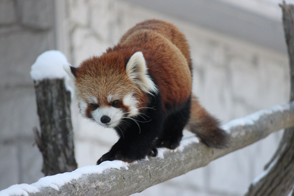 Sapporo Maruyama Zoo (4)