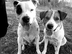 best of friendz (Willow Creek Photography) Tags: dog dogs mutt tyson canine pitbull mongrel k9 apbt harleyrey kingstonreyphotography